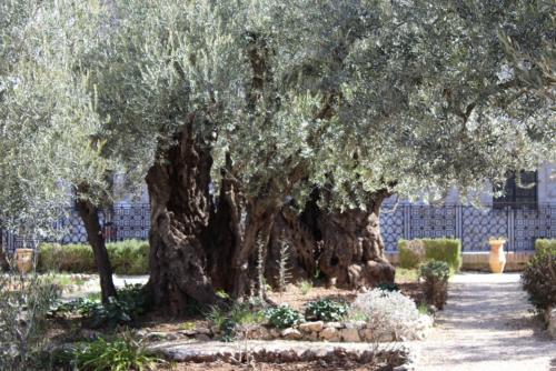 Maslini Gradina Ghetsimani